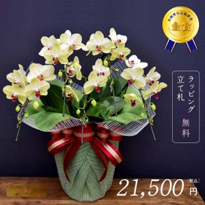 胡蝶蘭フォーチュンザルツマン5本立ち モテギ洋蘭園の胡蝶蘭|orchid-house