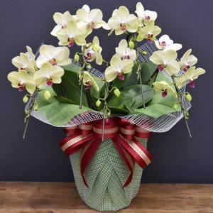 胡蝶蘭フォーチュンザルツマン5本立ち モテギ洋蘭園の胡蝶蘭|orchid-house|02