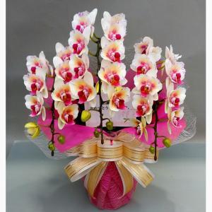 胡蝶蘭ミラクル3本立ち ラン、胡蝶蘭、ミディ、3本立ち 不思議な花色の胡蝶蘭が咲きました。 胡蝶蘭収...