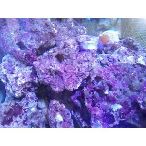 ライブロック Aグレード 石灰藻付き 1kg