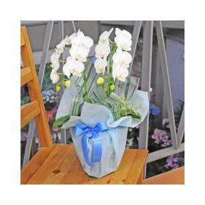 お供え 花 ミニ胡蝶蘭 鉢 花 アマビリス 2本立ち 白 ギフト お彼岸 お盆|osonaehana