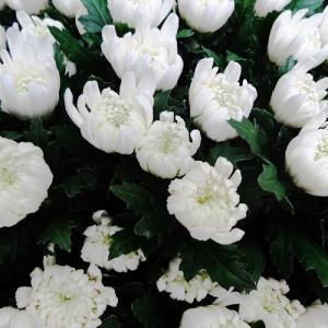 お供え 花 白の大菊 本数指定で10本以上から注文可能 お彼岸 お盆