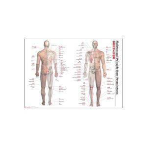 解剖ポスター 全身骨格と骨指標|otafuku
