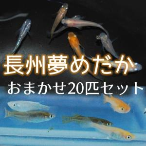 メダカ 長州夢めだか おまかせ20匹セット 成魚 Mサイズ|p-and-f