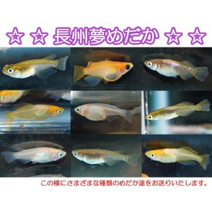 メダカ 長州夢めだか おまかせ10匹セット 稚魚 SS〜Sサイズ p-and-f