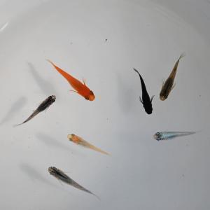 メダカ 長州夢めだか おまかせ30匹セット 成魚 Mサイズ|p-and-f