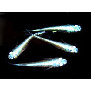メダカ 長州夢めだか 幹之 10匹セット 成魚|p-and-f