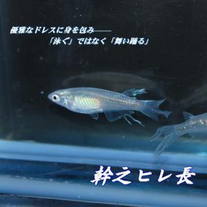 メダカ 長州夢めだか 幹之ヒレ長 5匹セット 成魚|p-and-f