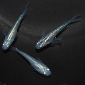 メダカ 長州夢めだか 幹之ヒレ長 5匹セット 成魚|p-and-f|04