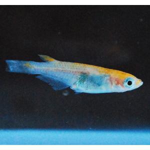 メダカ 長州夢めだか 朱赤透明鱗 5匹セット 成魚|p-and-f