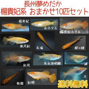 (送料無料) メダカ 長州夢めだか 楊貴妃系 5種類10匹 お試しセット 成魚