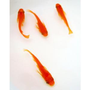 メダカ 長州夢めだか 楊貴妃 10匹セット 成魚|p-and-f