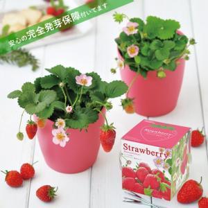 ストロベリー いちご 栽培セット 発芽保障 ピンクの花 栽培キット かんたん 秋 p-comfort