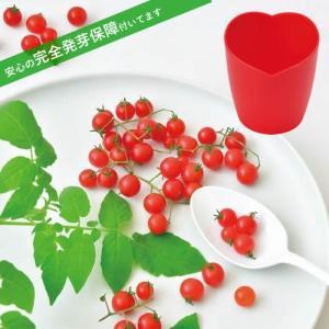 マイクロトマト  ミニミニトマト 栽培セット 発芽保障  栽培キット 聖新陶芸 かわいい p-comfort