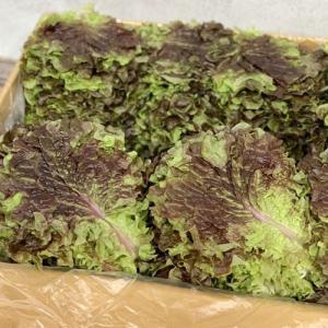 『食材』サンチュ(約100枚)■日本産 野菜 サムギョプサル 韓国料理 paldo