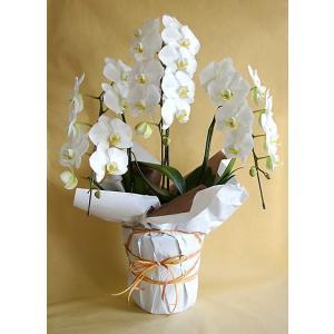べっぴん胡蝶蘭 3本立・大輪・白花・27輪以上 胡蝶蘭 開店祝い お祝い 花 蘭の花|paravoce