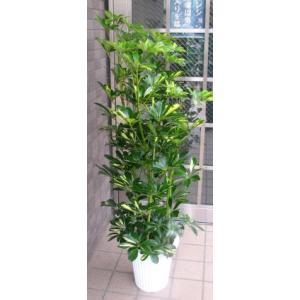 中型観葉植物 ホンコンカポック