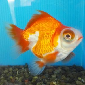 【1点物】出目金 ショートテール 2歳 約9cm 金魚