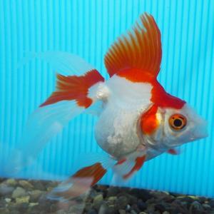 【1点物】飯田琉金 2歳 約11cm 金魚