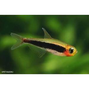【年末年始セール目玉大特価!!】熱帯魚 トゥッカーノテトラ 3匹