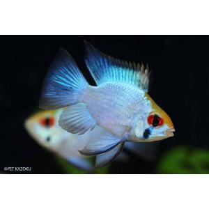 【新入荷】 熱帯魚 バルーン・コバルトブルーラミレジー 1匹
