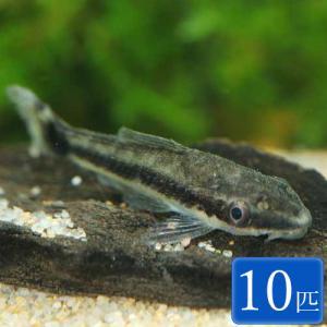 【年末年始セール大特価】熱帯魚 オトシンクルス 10匹
