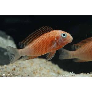 【新入荷】【熱帯魚】 トロフェウス・モーリー モリロレッド 1匹