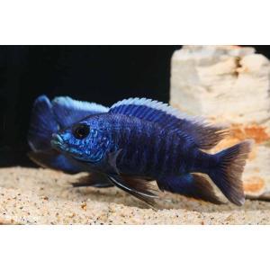 【新入荷】【熱帯魚】 アウロノカラ・スチュアートグランティ ブルー(L)1匹