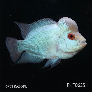 """フラワーホーン""""Big Head THAI SILK""""(M)Aグレード FHT0625H 1匹 観賞魚 魚 アクアリウム 熱帯魚 フラワーホーン"""