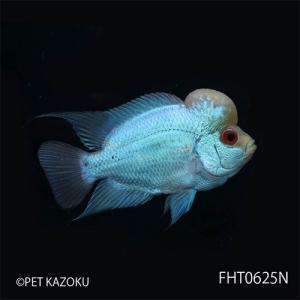 """フラワーホーン""""Big Head THAI SILK""""(M)Aグレード FHT0625N 1匹 観賞魚 魚 アクアリウム 熱帯魚 フラワーホーン"""