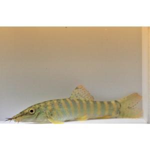 生体情報 メタリックグリーンの体色に赤い鰭にスポットが入る綺麗なローチです。      Syncro...