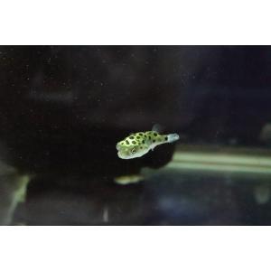 【淡水魚】完全淡水ミドリフグ【1匹】(フグ)