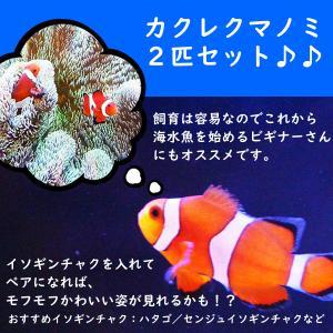 【海水魚・クマノミ】 カクレクマノミ 2匹セット ±3cm 〜 4cm  (国産ブリード) ペアにな...