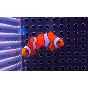 【海水魚】カクレクマノミ Sサイズ(3匹)3-5cm前後(生体)