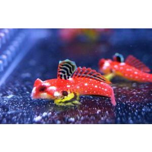 【海水魚・ネズッポ】ルビーレッドドラゴネット (1匹)±3-4cm(生体)