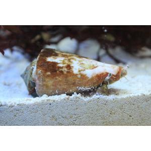 【海水魚】マガキガイ (マガキ 水槽内掃除 クリーナー 貝)(1匹)(生体)