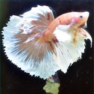 ベタ 熱帯魚 生体 ショーベタ  オレンジ オス3070 レッド系|petfish