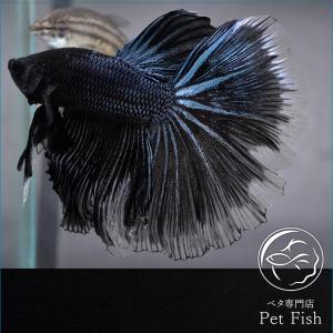 ベタ 熱帯魚 生体 ショーベタ  ブラックオーキッド オス|petfish