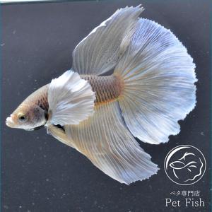 ベタ 熱帯魚 生体 ショーベタ  パイナップルダンボ 2445オス イエロー系|petfish