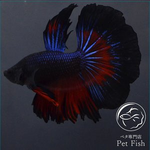 ベタ 熱帯魚 生体 ショーベタ  ブルーレッド オス レッド系|petfish