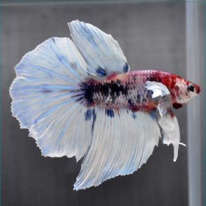 ベタ 熱帯魚 生体 ショーベタ  ブルーマーブル ブルー系|petfish
