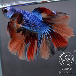 ベタ 熱帯魚 生体 ショーベタ  ニモ オス ブルー系|petfish