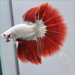ベタ 熱帯魚 生体 ショーベタ  レッドドラゴン オス|petfish