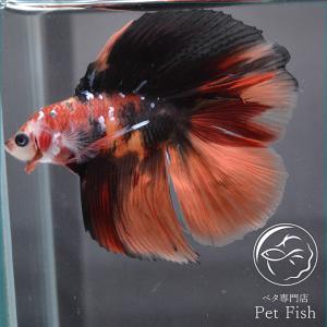 ベタ 熱帯魚 生体 ショーベタ ダブルテール ニモ レッド系 オス|petfish