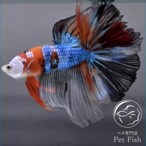 ベタ 熱帯魚 生体 ショーベタ  キャンディー オス ブルー系|petfish