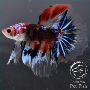 ベタ 熱帯魚 生体 ショーベタ  マルチ オス レッド系|petfish