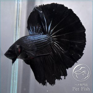 ベタ 熱帯魚 生体 ショーベタ  カッパーブラック ブラック系|petfish