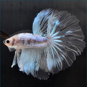 ベタ 熱帯魚 生体 ショーベタ イエロー オス イエロー系|petfish