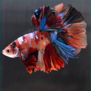 ベタ 熱帯魚 生体 ショーベタ  ニモ オス レッド系|petfish