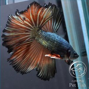 ベタ 熱帯魚 生体 ショーベタ  カッパーレッド ブラック系|petfish